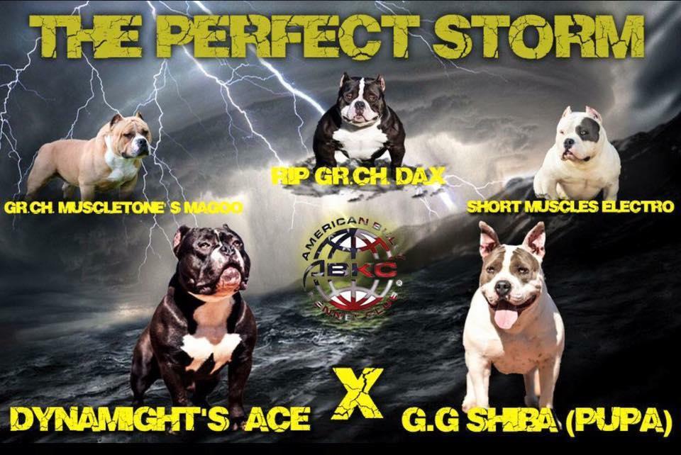 Ace X G.G. Shiba